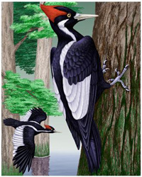 The ivory-billed woodpecker recently went from near total obscurity to superstardom when birders reported a sighting of the believed-to-be-extinct species.